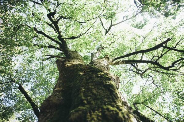 Le charme l'arbre.